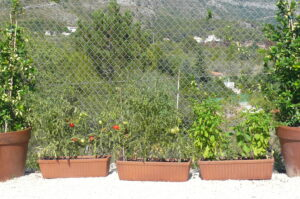 East facing tomatoes and chillies