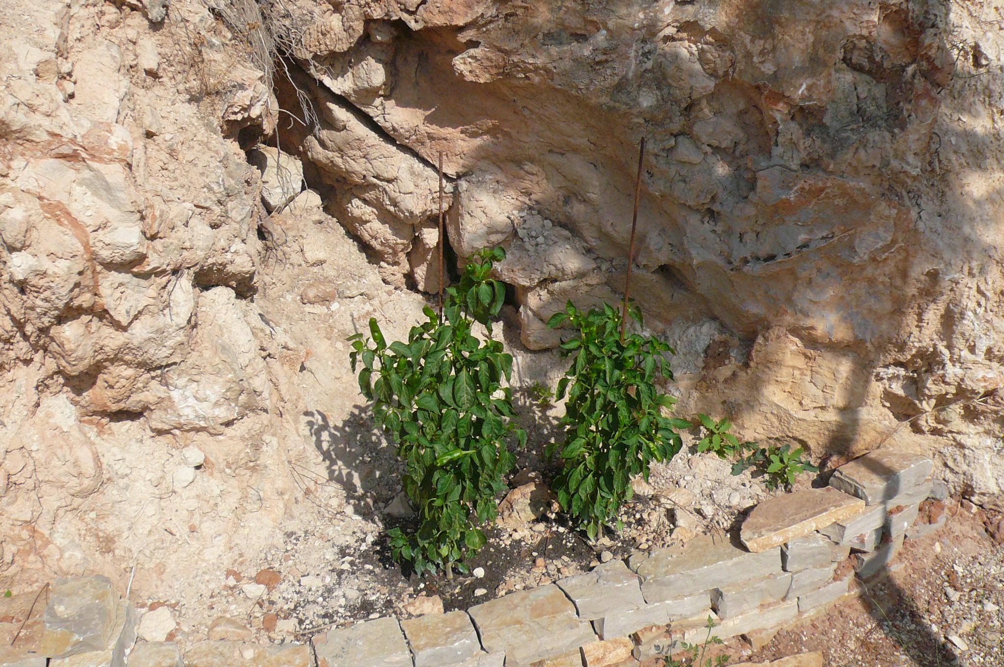 Alfredo's pimientos de padrón plants